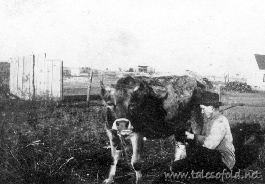 Milking a Jersey Cow in Fife, Texas